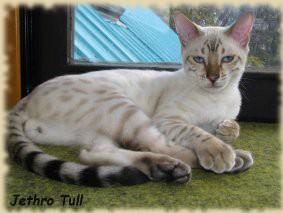 Špecializujeme sa na chov zosvetených farebných variant bengálskej mačky a  vzácných farebných variant bezsrstej mačky Don Sphynx ( DSP 33 ). f89f9a30eb5